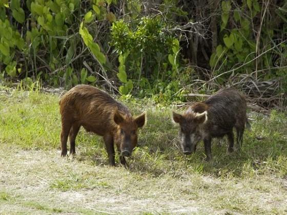feral-wild-pig-boar-explosion-disease_35242_600x450