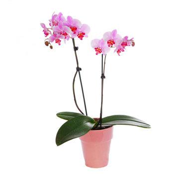 Pianta Di Orchidea A Due Rami vendita e Consegna Pianta Di