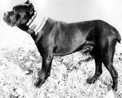 Basir, un capostipite del cane corso moderno