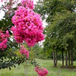 Crepe Myrtles in the Gardens