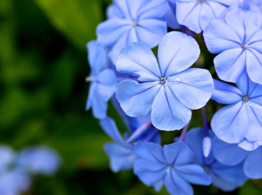 blue plumbagoes