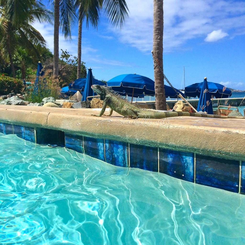 a native Iguana taking in some warm sunshine