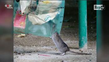 Francia, allarme topi a Parigi: il comune ha aperto un sito internet per catturarli