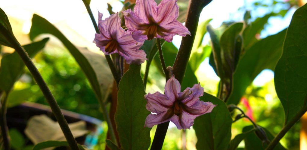 eggplant flowers