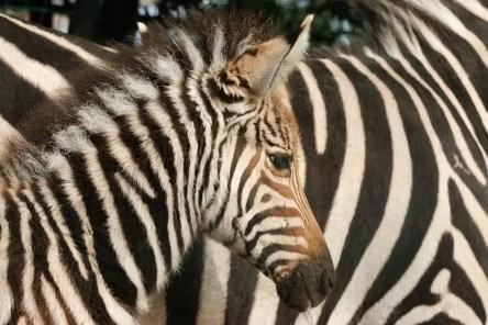 zebra_pistoia2
