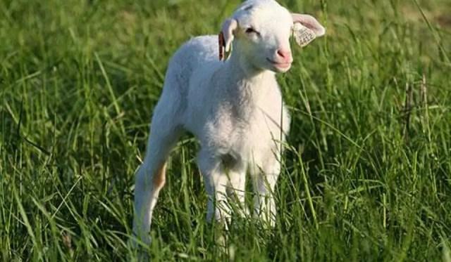Pasqua strage di agnelli