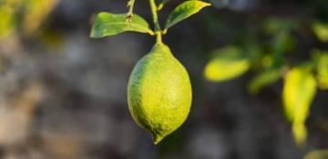Limone - Rimedi naturali per il rientro