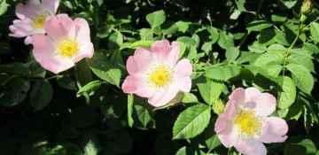 La rosa canina in difesa del tuo organismo