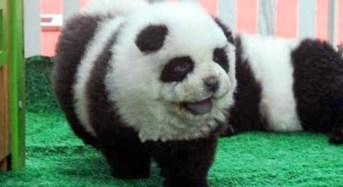 Animali: cuccioli di cane truccati come panda ed esibiti in un circo nel bresciano