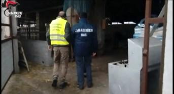 Catania. Carni in pessimo stato di conservazione: I Nas sequestrano un macello abusivo