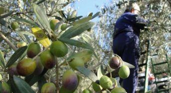 Città dell'Olio: parte dalla Sicilia il progetto nazionale di valorizzazione dell'olivicoltura