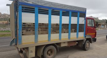 Agrigento. Elevate sanzioni per trasporto animali vivi