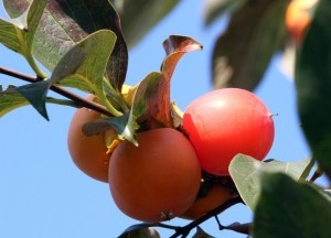 How to eat Cachi (Persimmons)