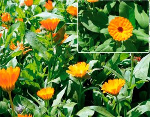 Read more about the article НЕВЕН – CALENDULA OFFICINALIS
