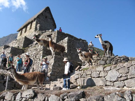Llamas released into the ruins