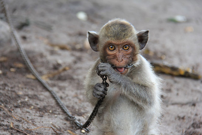 A monkey chained to a bungalow in Cambodia