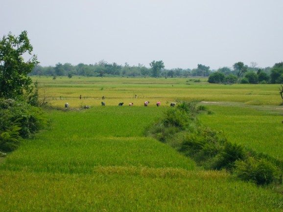 Rice farmers working in the paddy fields