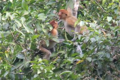 Proboscis monkeys in Borneo, Malaysia