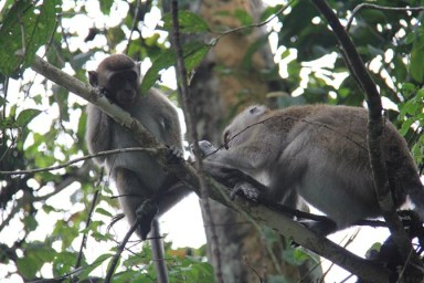 Long-tailed macaques in Borneo, Malaysia