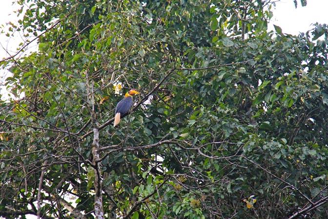 Wrinkled hornbill in Borneo, Malaysia