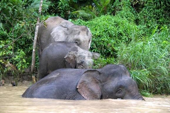 Borneo pygmy elephants in Malaysia