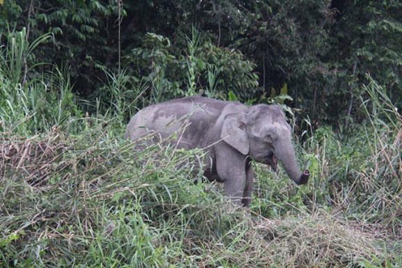 Pygmy elephant in Borneo, Malyasia