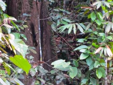 A giant squirrel in Sepilok, Malaysia