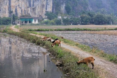 Goats feed along a path that leads to a lonley farm house in Vietnam.