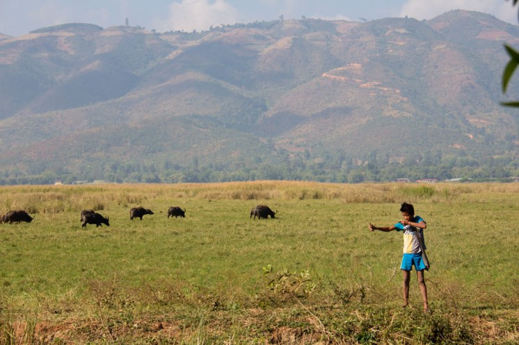 Inle Lake, Myanmar cow herding