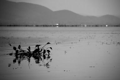 Inle Lake, Myanmar water bird.