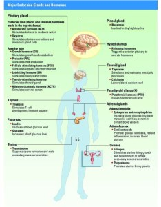 Endocrine system powerpoint chart graphic also anatomy  physiology rh iteachbio