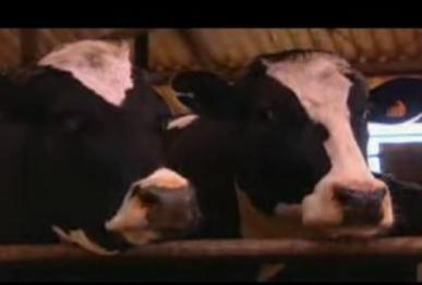 cow-methane.JPG