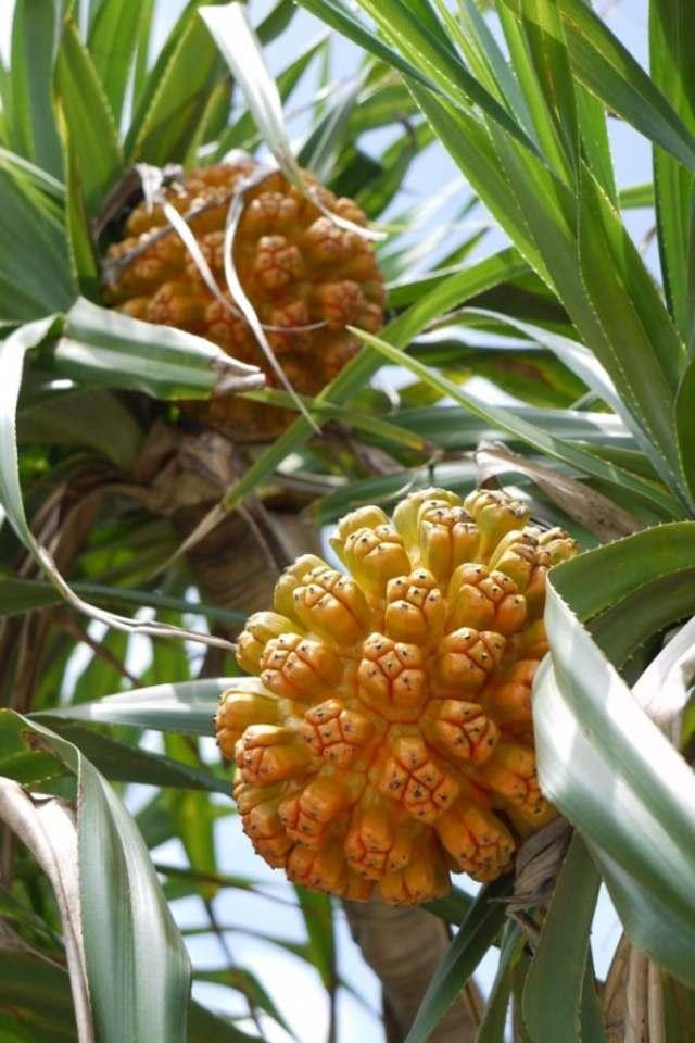 Wild Pineapple / Pandanus tectorius (野菠萝)