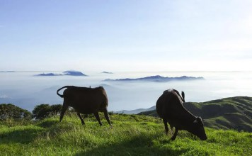 Feral Cattle Feral Cows on Tai Mo Shan 野牛 流浪牛