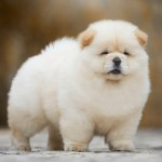 Photo Wallpaper White Background Dog Light Fluffy Cute White Chow Chow Puppy 1491663 Hd Wallpaper Backgrounds Download
