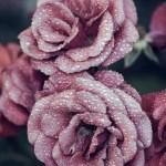 Pink Roses Flowers Iphone 6 Plus Hd Wallpaper Lovely Iphone 8 Wallpaper Roses 2047930 Hd Wallpaper Backgrounds Download