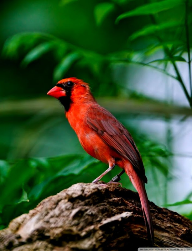 Red Bird 4k Hd Desktop Wallpaper For 4k Ultra Hd Forest With Birds And Water 853018 Hd Wallpaper Backgrounds Download