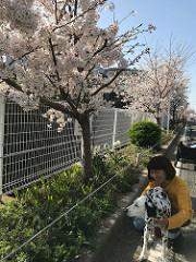 今年の桜にさゆりとオッド