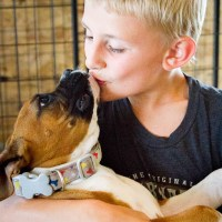 All About the Boxer Dog