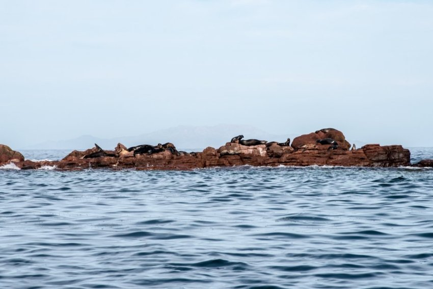 Shoreline covered in sea lions