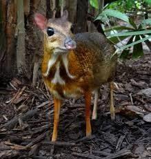 mouse_deer-min