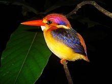 oriental_dwarf_kingfisher-min