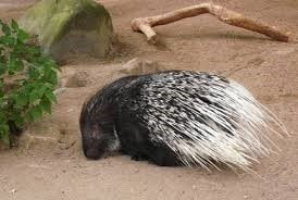 porcupine-min