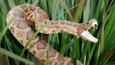 Photo of Snake bites – Dos and Don'ts