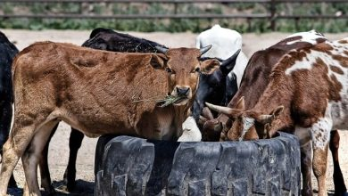 Photo of CATTLE ON THE ROADS OF GOA: STRAY OR AN EXCUSE?