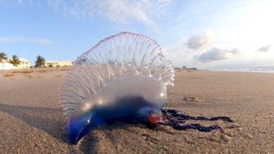 Photo of 'Bluebottle', 'Portuguese-man-of-war' or 'Floating terror'