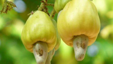 """Photo of The hills of Carambolim loose jumbo-sized cashew nut """"botto"""""""