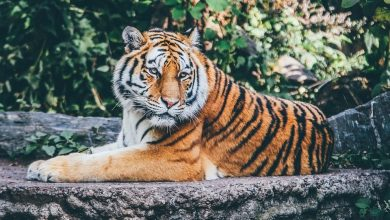 Photo of Mhadei to get Tiger Reserve Tag?