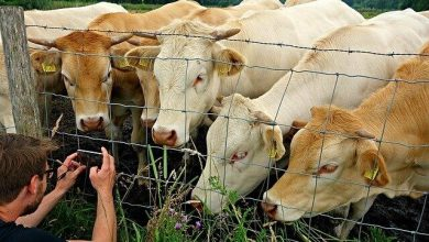 Photo of Parrikar plans 'Home for the aged'- Cows, now!