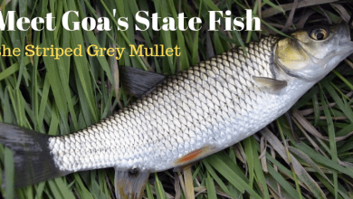 Grey Mullet Goa is state fish